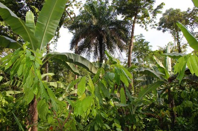 Cocoa and banana in agroforestry system in Nigeria's Cross River State