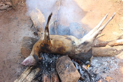 Duiker hunted in agroforestry/forest complex in Nigeria's Cross River State