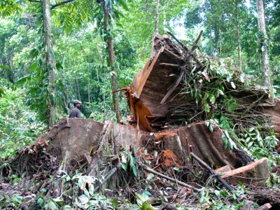 Felled tree in Papua, Indonesia.