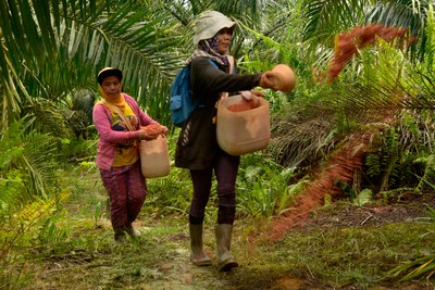 Fertilizing soil on oil palm plantation, West Kalimantan, indonesia.