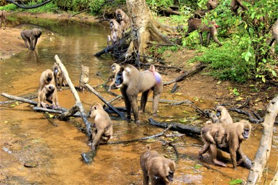 Endangered drills (Mandrillus leucophaeus) in an animal rescue center in Cross River State (Nigeria).