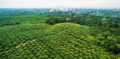 Palm oil in West Kalimantan, indonesia. Photo: Nanang Sujana CIFOR