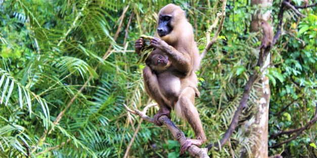 What future for primates? Conservation struggles in the forests  of Cross River State, Nigeria